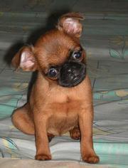 Продам щенков  Пти-брабансон