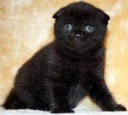 Продаются котята шотладский фолд
